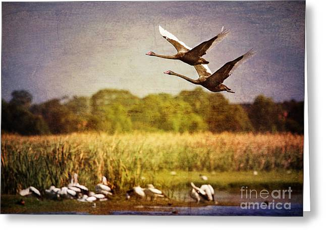 Black Swans Greeting Cards - Swans In Flight Greeting Card by Kym Clarke