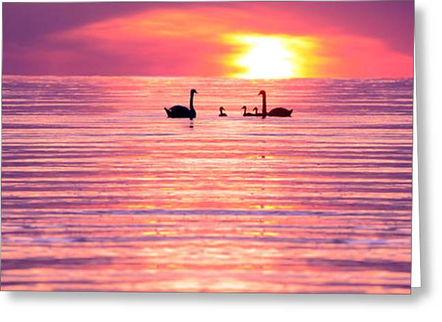 Swans... Photographs Greeting Cards - Swans on the Lake Greeting Card by Jon Neidert