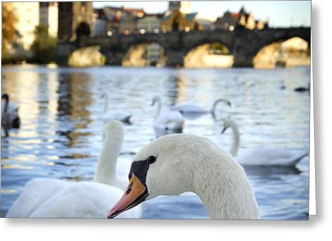 Swans on Vltava river Greeting Card by Jelena Jovanovic