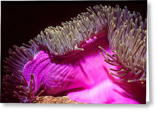 Sea Anemone Greeting Cards - Swaying Anemone Greeting Card by Jean Noren
