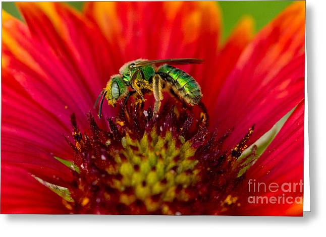 Sweat Greeting Cards - Sweat Bee Collecting Pollen Greeting Card by Anthony Mercieca