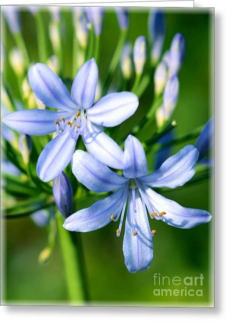 African Lily Greeting Cards - Sweet African Lily Greeting Card by Carol Groenen