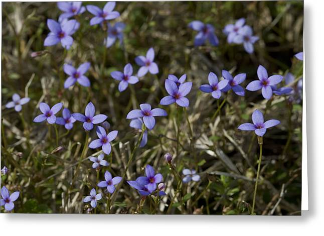 Sweet Alabama Tiny Bluet Wildflowers Greeting Card by Kathy Clark