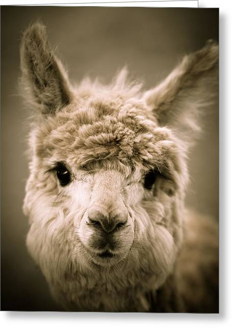 Alpacas Greeting Cards - Sweet Alpaca Greeting Card by Shane Holsclaw