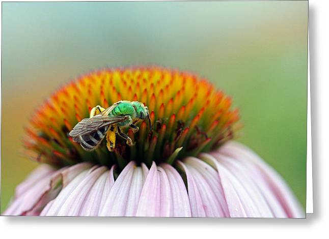 Green Hornets Greeting Cards - Sweet Bee Greeting Card by Juergen Roth