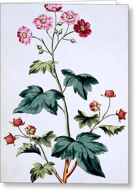 Raspberry Paintings Greeting Cards - Sweet Canada Raspberry Greeting Card by John Edwards