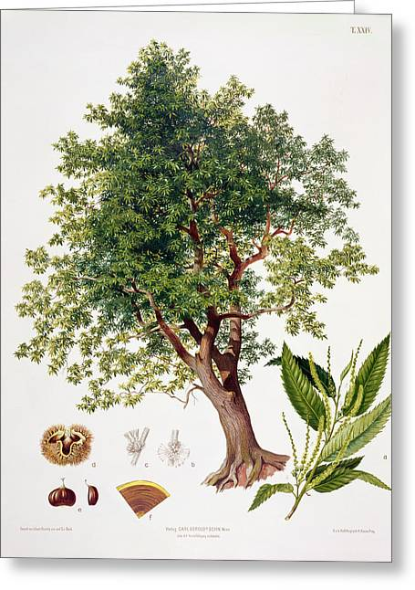 Nut Trees Greeting Cards - Sweet Chestnut Greeting Card by Johann Kautsky