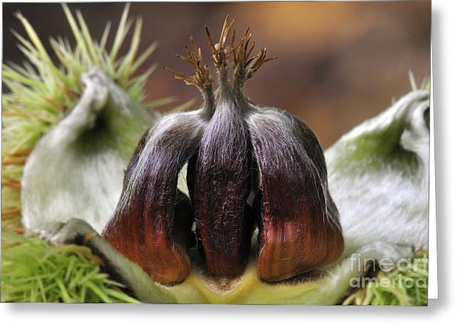 European Fruit Greeting Cards - Sweet Chestnuts (castanea Sativa) Greeting Card by Colin Varndell