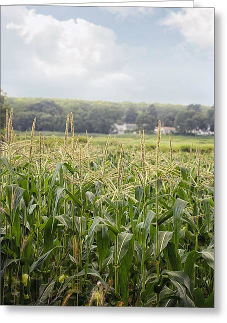 Sweet Corn Farm Greeting Cards - Sweet corn grows on a Connecticut farm Greeting Card by Marianne Campolongo