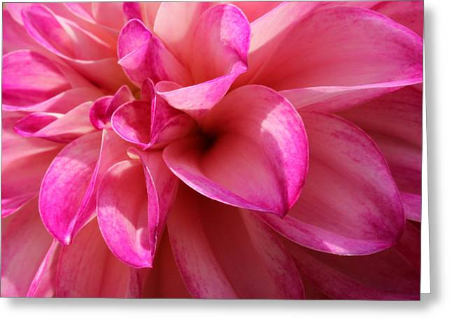 Pinks And Purple Petals Photographs Greeting Cards - Sweet Dahlia Greeting Card by Rachel Cohen