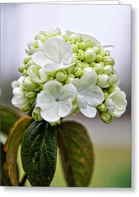 Dewdrops Greeting Cards - Sweet Display Greeting Card by Jan Amiss Photography