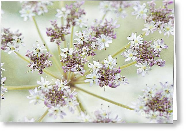 Carota Greeting Cards - Sweet Lace Greeting Card by Jacky Parker