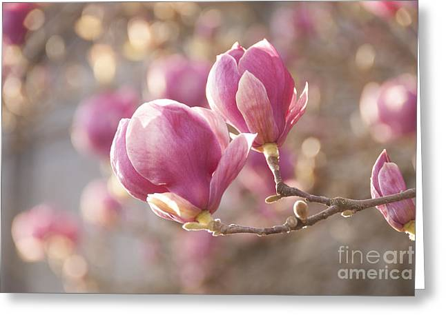 Delicate Bloom Greeting Cards - Sweet Magnolia Greeting Card by Juli Scalzi