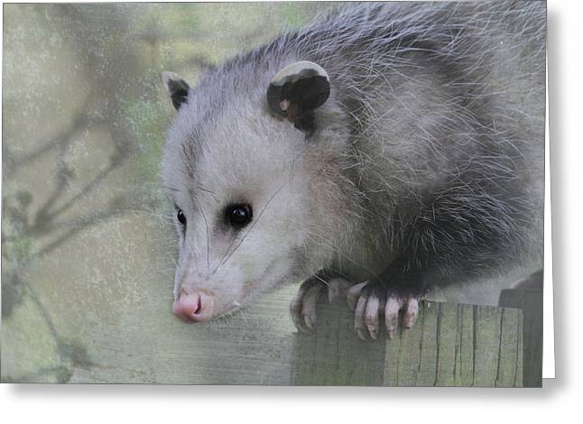 Backyard Wildlife Greeting Cards - Sweet Opossum Greeting Card by Angie Vogel
