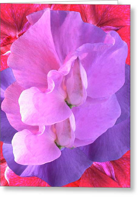 Sweet Pea (lathyrus Sp.) Flowers Greeting Card by Archie Young