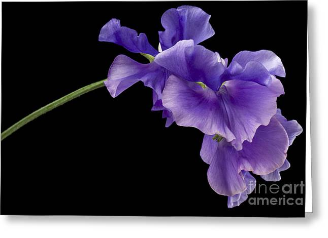 Anne Gilbert Greeting Cards - Sweet Pea Study Greeting Card by Anne Gilbert
