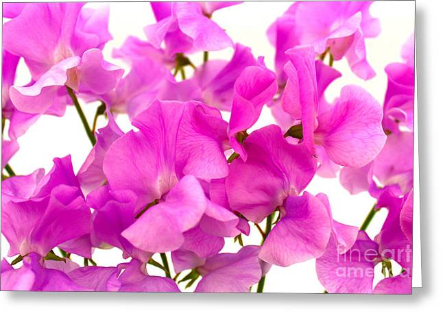 Recently Sold -  - Blooms Greeting Cards - Sweet Peas Greeting Card by JM Braat Photography