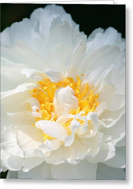 Tenderly Greeting Cards - Sweet Peony Greeting Card by  The Art Of Marilyn Ridoutt-Greene