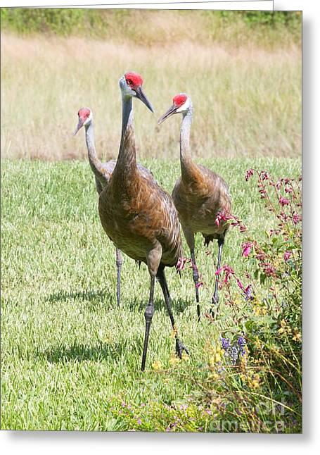 Sandhill Cranes Greeting Cards - Sweet Sandhill Crane Family Greeting Card by Carol Groenen