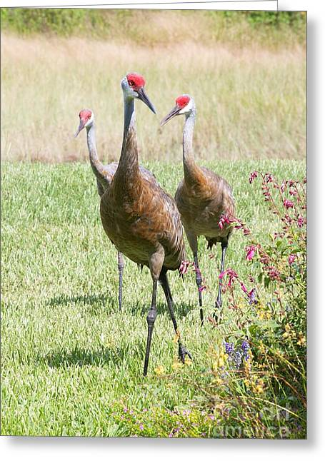 Sandhill Cranes Greeting Cards - Sweet Sandhill Crane Family Greeting Card by Carol Groenen