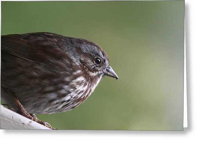Sweet Song Sparrow Greeting Card by Tania Morris