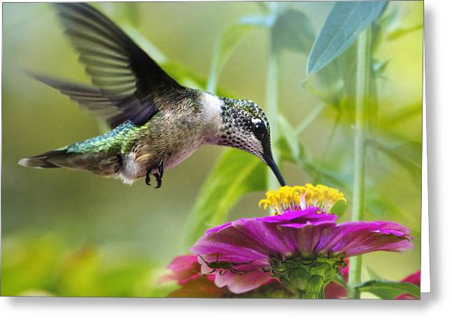 Ruby Throated Hummingbird Greeting Cards - Sweet Success Hummingbird Square Greeting Card by Christina Rollo