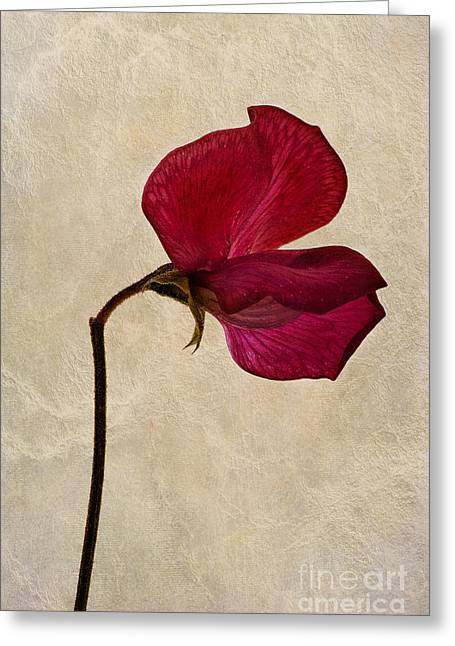 Pink Sweet Peas Greeting Cards - Sweet Textures Greeting Card by John Edwards