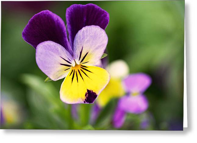 Violet Art Photographs Greeting Cards - Sweet Violet Greeting Card by Rona Black