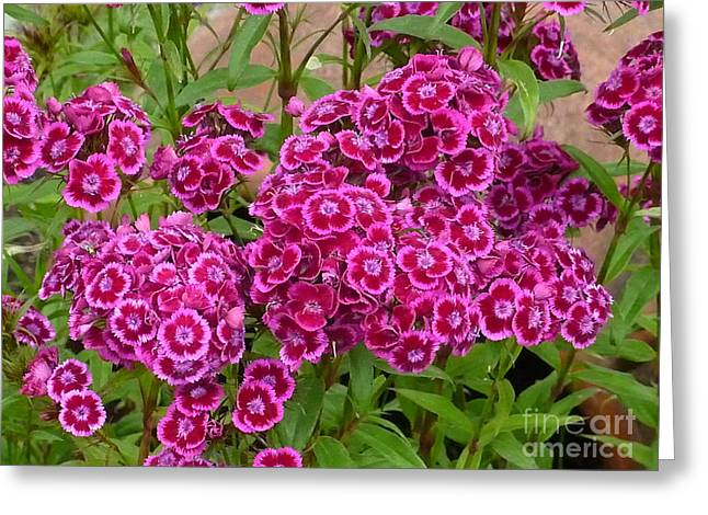 Short-lived Perennial Greeting Cards - Sweet William Greeting Card by Tresa Burnett