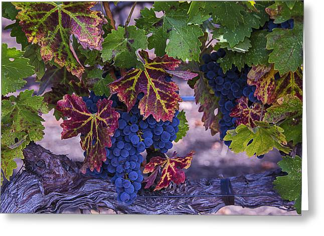 Grapevines Greeting Cards - Sweet Wine Grapes Greeting Card by Garry Gay