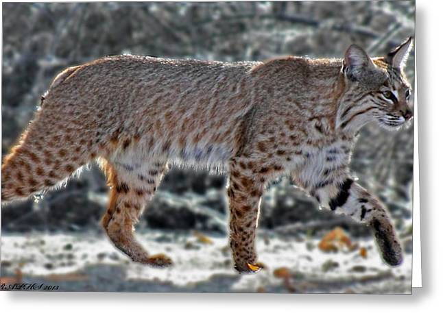 SWEETWATER WETLANDS BOBCAT Greeting Card by ELAINE MALOTT