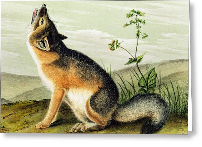 Howling Greeting Cards - Swift Fox Greeting Card by John James Audubon