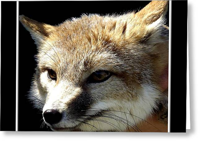 Hawk Creek Greeting Cards - Swift Fox Greeting Card by Rose Santuci-Sofranko