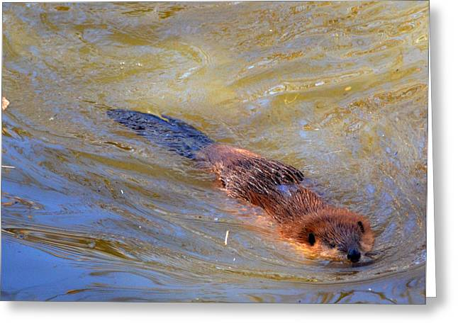 Whiteoaks Photography Greeting Cards - Swimming Beaver Greeting Card by Eva Thomas