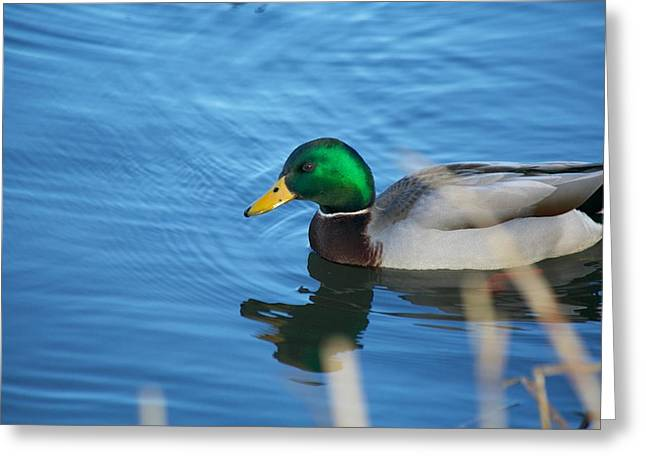 Umass Greeting Cards - Swimming Mallard Greeting Card by Allan Morrison