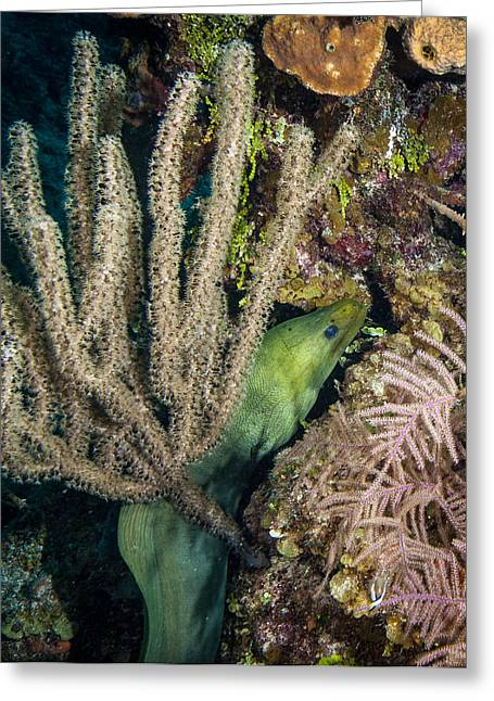 Scuba Diving Greeting Cards - Swimming Moray Eel Greeting Card by Jean Noren
