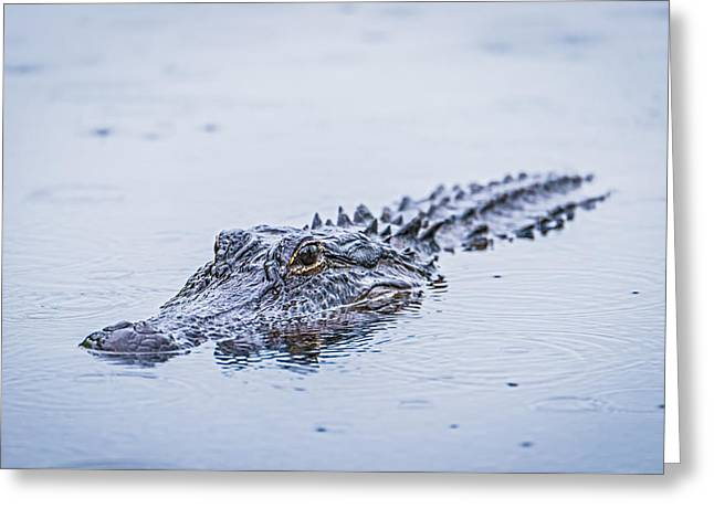 Carnivore Greeting Cards - Swimming on a Rainy Day Greeting Card by Duane Miller