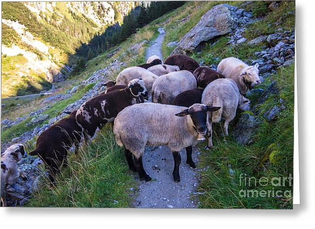 Swiss Photographs Greeting Cards - Swiss Alps Sheep - Trift River Gorge  Greeting Card by Gary Whitton