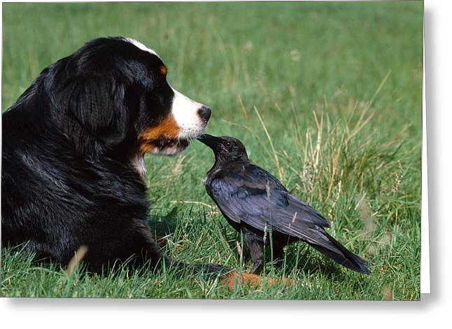Bred Greeting Cards - Swiss Mountain Dog And Crow Greeting Card by Tierbild Okapia
