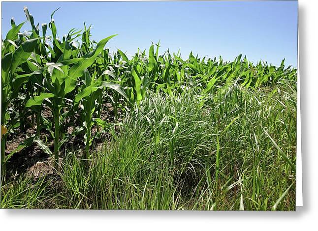 Switchgrass And Maize Crop Study Greeting Card by Peggy Greb/us Department Of Agriculture