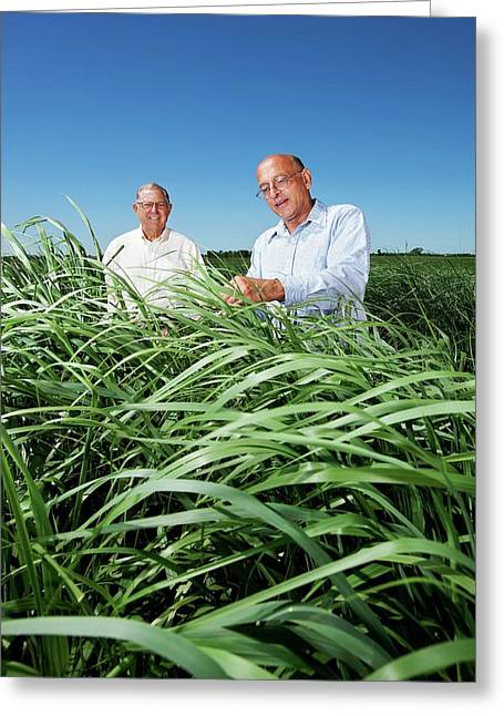 Switchgrass Crop Research Greeting Card by Peggy Greb/us Department Of Agriculture