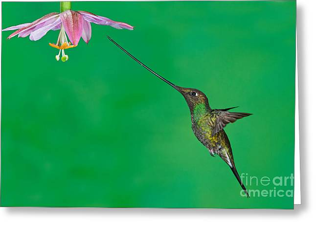 Sword-billed Hummer Greeting Card by Anthony Mercieca