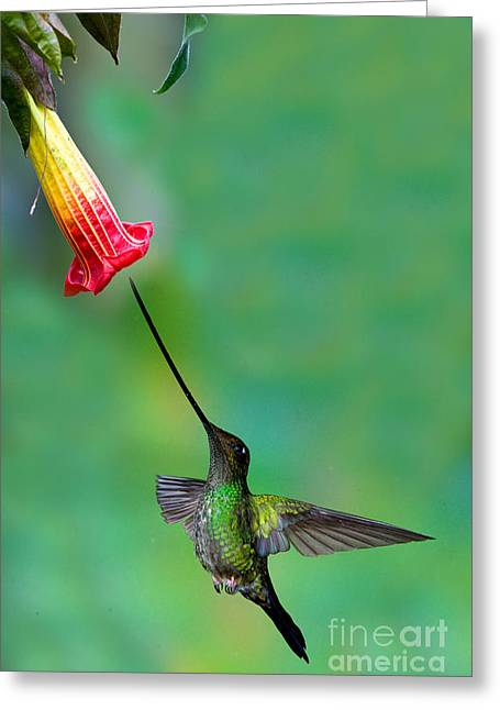 Sword-billed Hummingbird Greeting Card by Anthony Mercieca