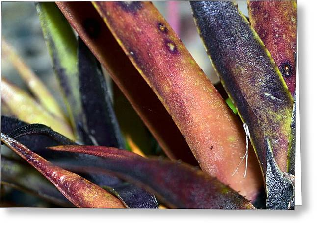 Cordylines Greeting Cards - Sword shaped leaves in color Greeting Card by Maria Fernandes