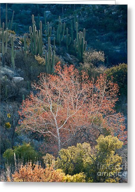American Sycamore Greeting Cards - Sycamore And Saguaro Cacti, Arizona Greeting Card by John Shaw