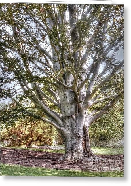 Tree. Sycamore Greeting Cards - Sycamore at Biltmore Greeting Card by David Bearden