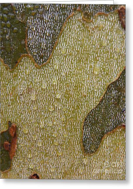 American Sycamore Greeting Cards - Sycamore  Bark 2 Greeting Card by Paddy Shaffer