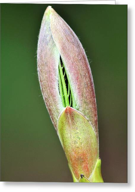 Sycamore Leaf Bud Greeting Card by Colin Varndell