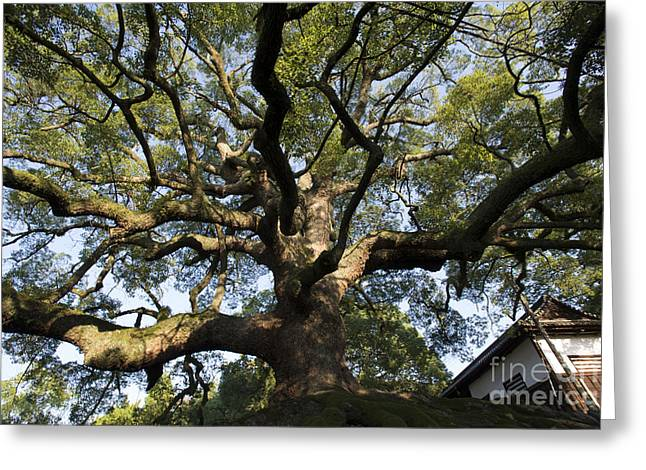 Kyoto Greeting Cards - Sycamore Tree Greeting Card by David Bearden