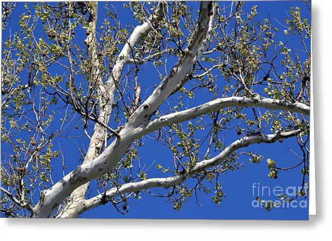 American Sycamore Greeting Cards - Sycamore Tree in Blue Greeting Card by Leona Bessey